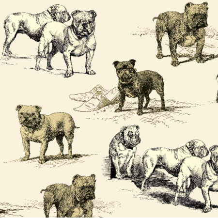 19045 | PSY BULDOGI ANGIELSKIE  na ECRU - ENGLISH BULLDOG DOGS